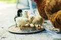 Картинка chicks, cock, Plumiferos