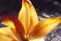 Картинка лилия, цветок, лепестки, вода, макро
