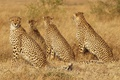 Картинка трава, кошки, семья, семейство, гепарды