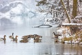 Картинка зима, озеро, утки