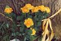 Картинка цветы, дерево, желтые, лепестки, лента, кора, ленточка