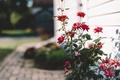 Картинка листья, цветы, лепестки, двор, красные