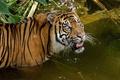 Картинка водоём, суматранский, купание, тигр, взгляд, кошка