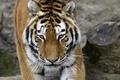 Картинка кошка, морда, тигр, амурский