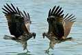 Картинка вода, птицы, крылья, клюв, пара
