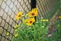 Картинка стебли, забор, лепестки, цветы, бутоны