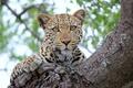 Картинка дерево, отдых, взгляд, леопард