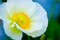 Картинка цветок, растение, мак, лепестки