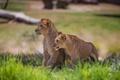 Картинка animal, lions, grass