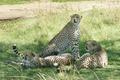 Картинка трава, кошки, отдых, тень, гепарды, троица