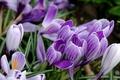 Картинка цветы, природа, Crocuses