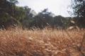Картинка поле, трава, колос, луг