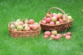 Картинка корзина, яблоки, травка
