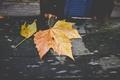 Картинка клен, осень, листья