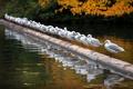 Картинка осень, птицы, река