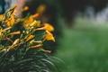 Картинка цветы, лилии, листья