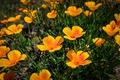 Картинка цветы, желтые, эшштольция калифорнийская
