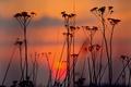 Картинка силуэт, вечер, растение, закат, облака, небо
