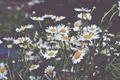 Картинка белые, лепестки, ромашки, цветы