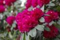 Картинка розовая, цветение, кустарник, азалия