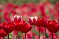 Картинка лепестки, сад, стебель, тюльпаны, клумба