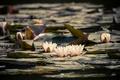 Картинка листья, вода, цветение, водяные лилии