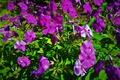 Картинка лепестки, фиолетовые цветы, флоксы