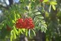 Картинка лето, ягоды, рябина, листья
