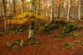 Картинка осень, лес, деревья, мох, Испания, Наварра