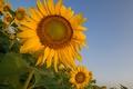 Картинка поле, небо, листья, подсолнух, лепестки