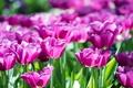Картинка лепестки, сад, тюльпаны, клумба