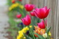Картинка яркие, забор, фокус, тюльпаны