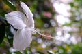 Картинка цветение, белый гибискус, листва
