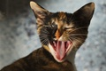 Картинка язык, кошка, зивает, трёхцветная
