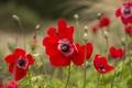 Картинка цветок, лепестки, цветение, анемоны