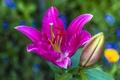 Картинка цветок, природа, лилия, лепестки