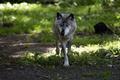 Картинка трава, волк, хищник