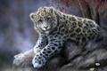 Картинка кошка, животное, камень, ромашки, леопард, ирбис, снежный барс