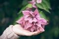 Картинка цветок, лепестки, розовые