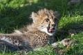 Картинка язык, кошка, трава, отдых, гепард, детёныш, котёнок