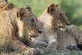 Картинка трава, морда, кошки, профиль, львы, львята